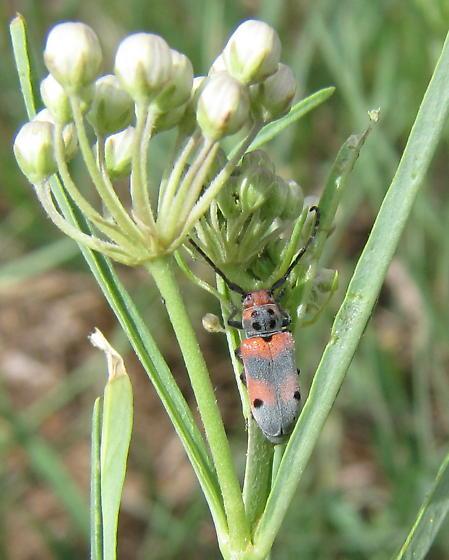 Milkweed longhorn beetle - Tetraopes discoideus