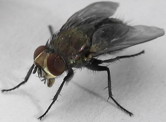 Sexing Flies in the Genus Lucilia - Lucilia - male