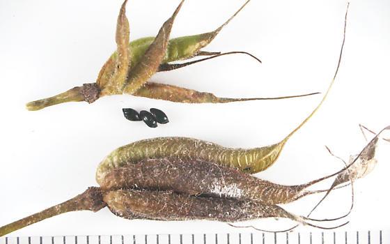 Agromyzidae, Columbine pods - Phytomyza krygeri