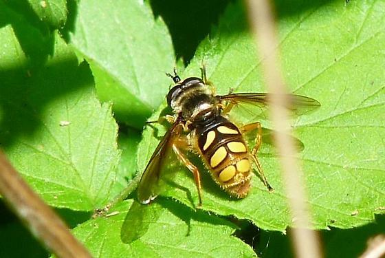 Fly - Somula decora