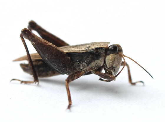 Tettigidea lateralis - male