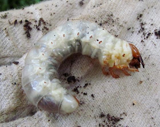 Beetle larva - Eastern hercules beetle? - Lucanus