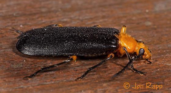 Fire-colored Beetle - Neopyrochroa femoralis