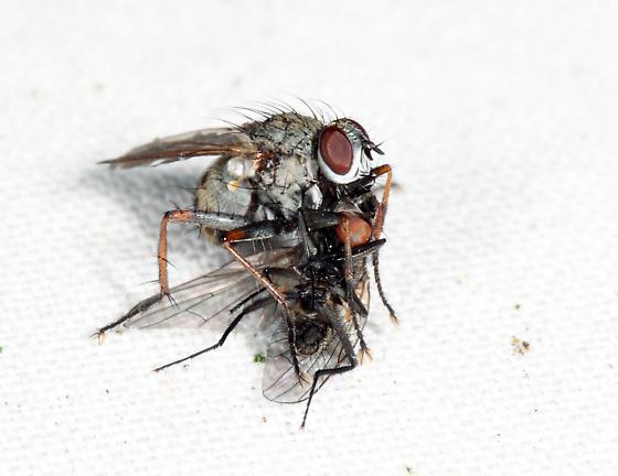 Coenosia tigrina with prey - Coenosia tigrina