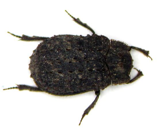 Trox - male