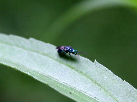 Which little shiny blue wasp?