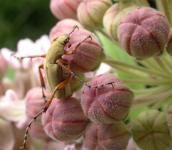 Rose Chafer on Common Milkweed - Macrodactylus