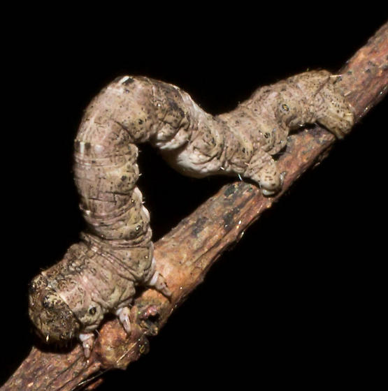 White-spotted brown inchworm - Hypagyrtis unipunctata