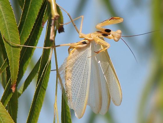 Praying Mantis Mantis Religiosa Bugguide Net