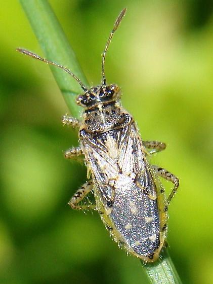 Rhopalus tigrinus - Brachycarenus tigrinus