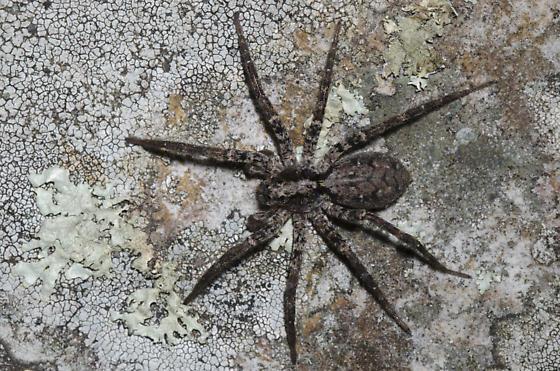 Wolf Spider - Gladicosa pulchra