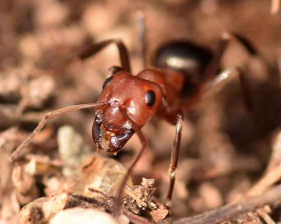 Allegheny mound ant - Formica exsectoides - female