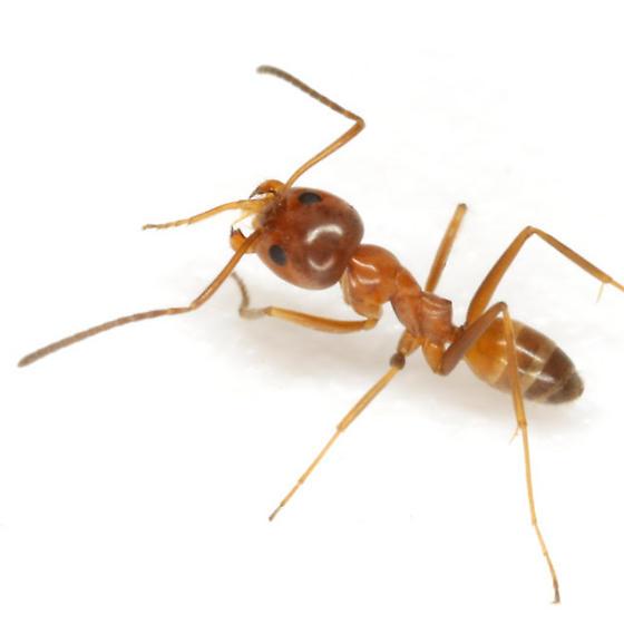 Dorymyrmex bureni (Trager) - Dorymyrmex bureni - female