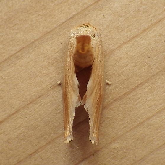 Limacodidae: Tortticidia testacea - Tortricidia testacea