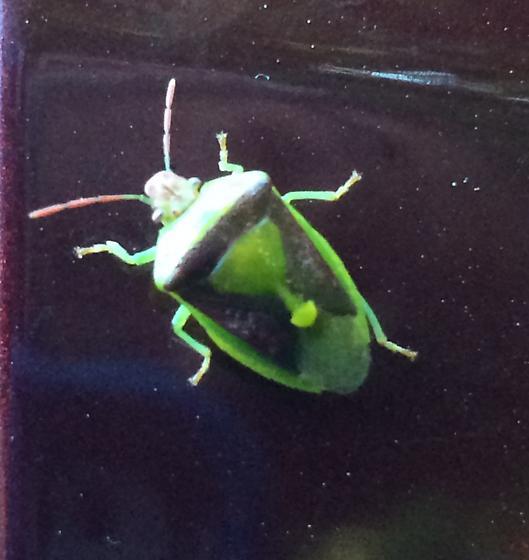 Green and marroon stink bug - Banasa dimidiata