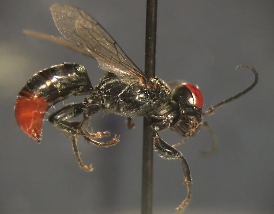 What kind of wasp? - Tachysphex - female