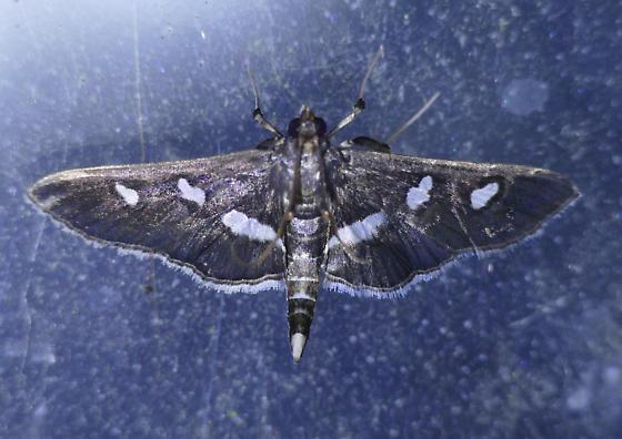 Texas SE Gulf Coast - Desmia maculalis - male