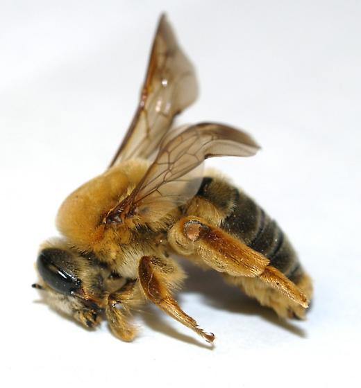 Big bee dead in Alfalfa - Protoxaea gloriosa - female