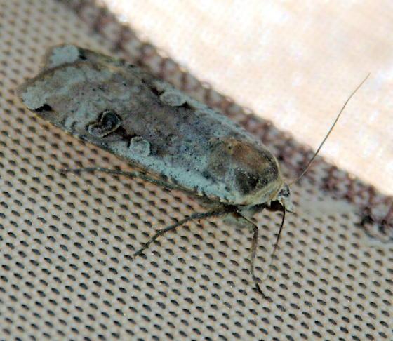 Owlet Moth - Noctua pronuba