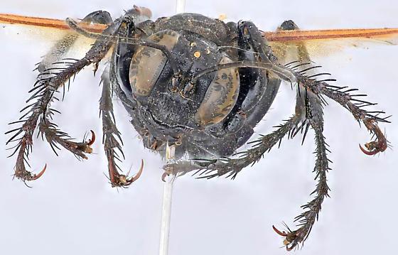 Wasp, spread anterior - Palmodes praestans - female