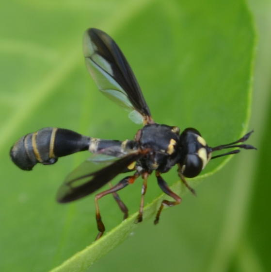 Thick-headed Fly - Physocephala marginata - female