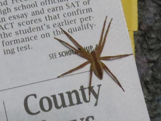 large tan spider