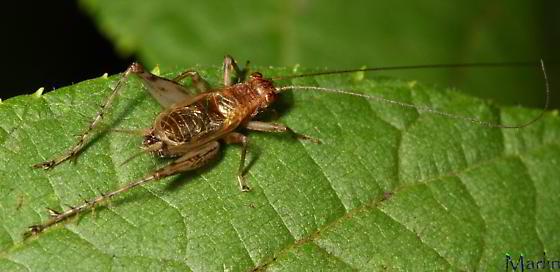 Cricket - Anaxipha exigua - female