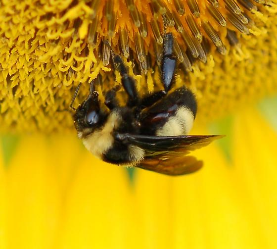 Bumble bee - Bombus auricomus - female