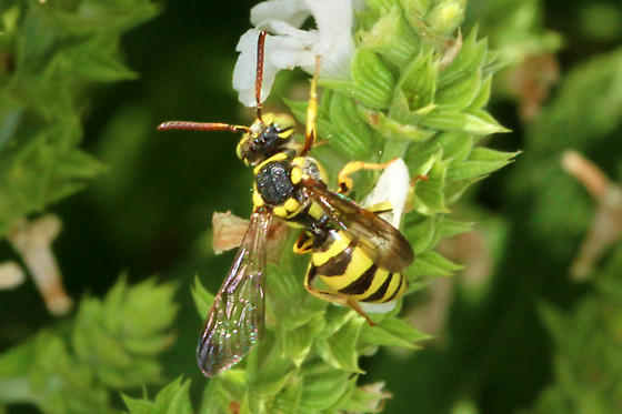 Bee 8581 - Nomada