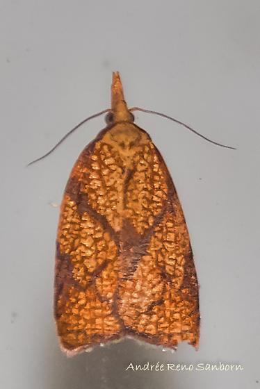 Vermont: Hodges#3720 (Cenopis reticulatana)  - Cenopis reticulatana