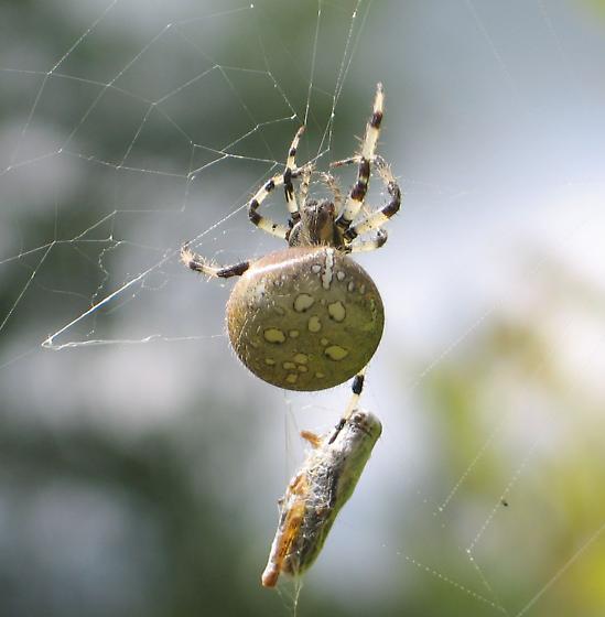 spotted spider - top - Araneus trifolium