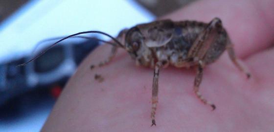 Stumpy Cricket - Cyphoderris