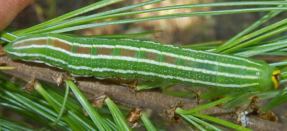 Pine Sphinx - Lapara bombycoides