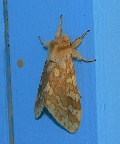 Another moth - Lophocampa maculata