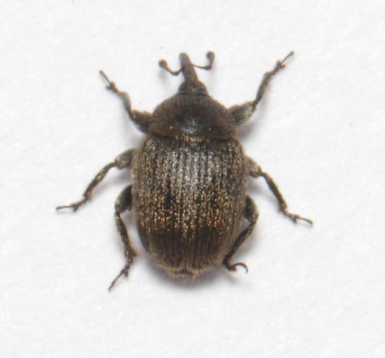 European Curculionid Weevil, dorsal - Rhinusa tetra