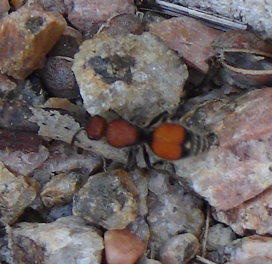 Big red ant - Dasymutilla asopus - BugGuide.Net