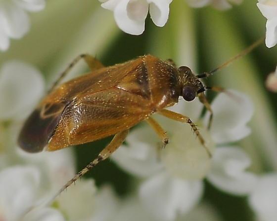 Plant Bug - Plagiognathus cornicola