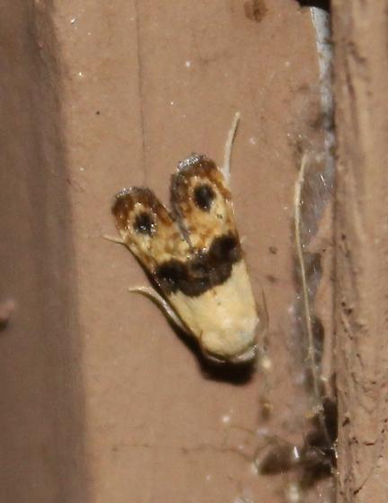 Cochylini - Eugnosta erigeronana
