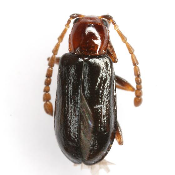 Luperosoma subsulcatum (Horn) - Luperosoma subsulcatum - male