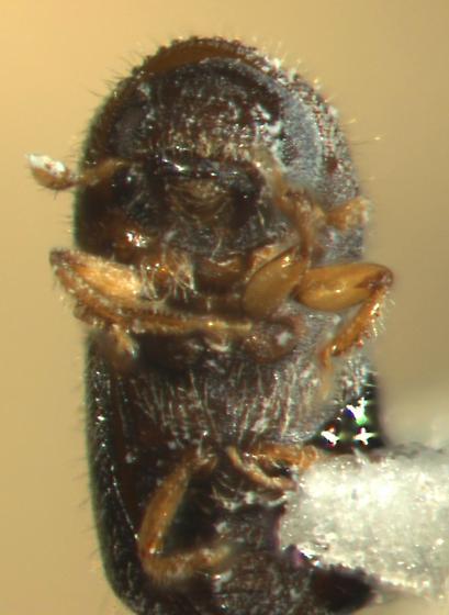 Xylosandrus compactus, ventral view - Xylosandrus compactus - female