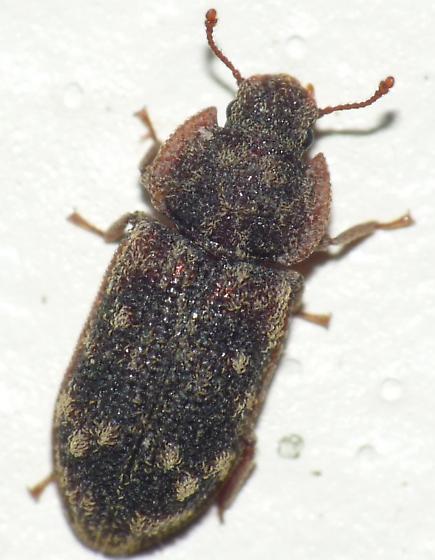 Cylindrical Bark Beetle - Namunaria guttulata