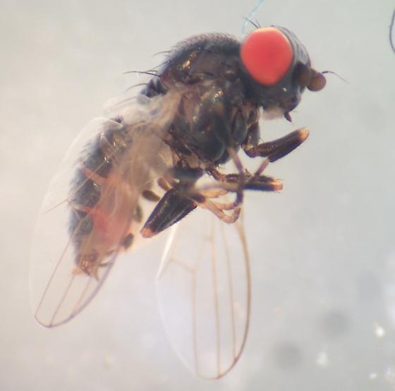 What do you think? Chamaemyiidae?