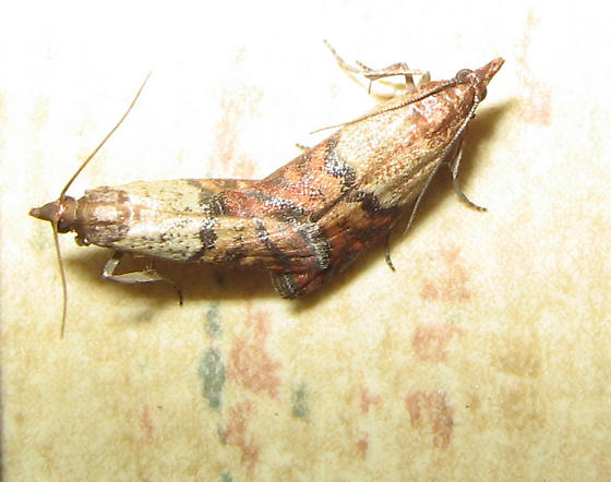 Mating pantry moths plodia interpunctella bugguide net for Pantry moths