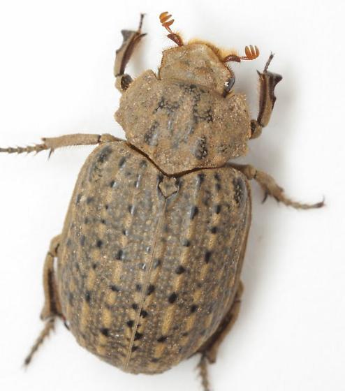 Omorgus suberosus (Fabricius) - Omorgus suberosus