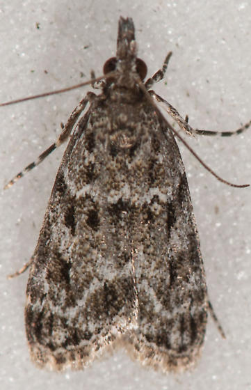 Scoparia basalis – Many-spotted Scoparia Moth - Eudonia heterosalis