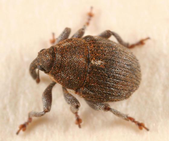 small weevil - Glocianus punctiger