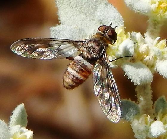 Bee fly - Exoprosopa butleri