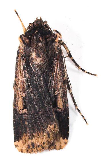 Moth to porch light  - Feltia subterranea