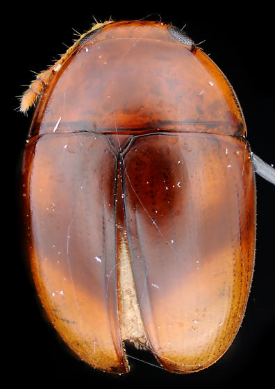 Shining Flower Beetle, dorsal - Stilbus