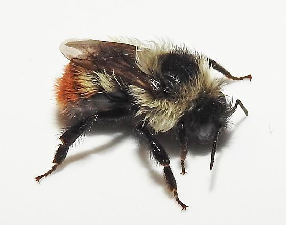 Small Bee - Bombus rufocinctus